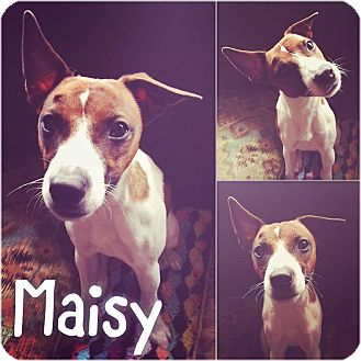 Jack Russell Terrier Dog for adoption in St Clair Shores, Michigan - Maisy