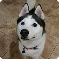 Adopt A Pet :: Thor - Clearwater, FL