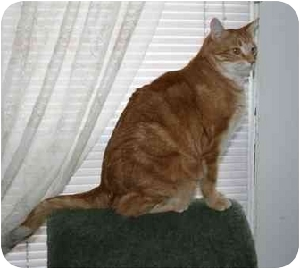 Domestic Shorthair Cat for adoption in Manalapan, New Jersey - Renny