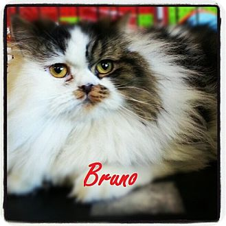 Persian Cat for adoption in Beverly Hills, California - Bruno