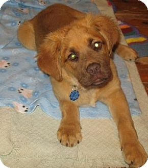 Shepherd (Unknown Type) Mix Puppy for adoption in kennebunkport, Maine - Tanner - PENDING, in Maine