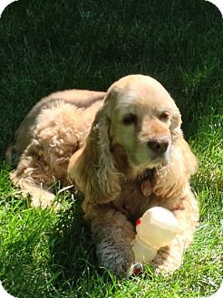 Cocker Spaniel Mix Dog for adoption in Surrey, British Columbia - Daisy Duke-pending adoption