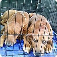 Adopt A Pet :: Ivan - St, Augustine, FL