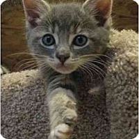 Adopt A Pet :: Kitten 3 - Davis, CA