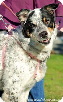 Australian Shepherd Malamute Mix Puppy