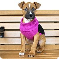 Adopt A Pet :: Dos-Adopted! - Detroit, MI