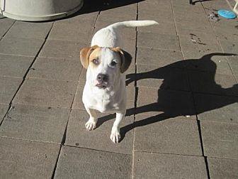 Labrador Retriever/Labrador Retriever Mix Dog for adoption in San Diego, California - Tonny