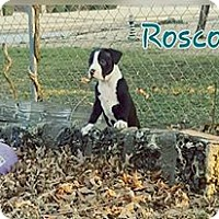 Adopt A Pet :: Roscoe - Broken Arrow, OK