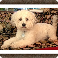 Adopt A Pet :: Adopted!!Bella - N. CA - Tulsa, OK