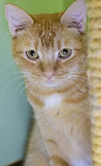 Manx Cat for adoption in Auburn, California - Carla