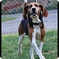 Adopt A Pet :: Snoopy - Shippenville, PA