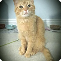 Domestic Shorthair Cat for adoption in Toronto, Ontario - Pine