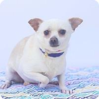Adopt A Pet :: Snow White - Auburn, CA