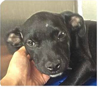 Labrador Retriever Mix Puppy for adoption in Springdale, Arkansas - Diamond