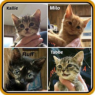 American Shorthair Kitten for adoption in Malvern, Arkansas - KITTENS - 3 fem 1 male