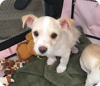 Terrier (Unknown Type, Medium)/Chihuahua Mix Puppy for adoption in Mission viejo, California - Kody