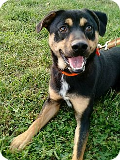 Shepherd (Unknown Type)/Hound (Unknown Type) Mix Dog for adoption in Macomb, Illinois - Harvey
