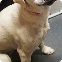 Adopt A Pet :: Cotton - Goodlettsville, TN