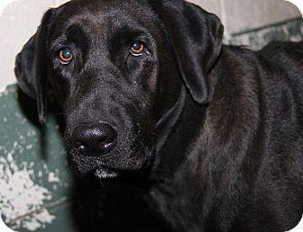 Labrador Retriever Dog for adoption in Towson, Maryland - Kiya & Gracie #2
