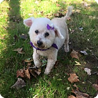 Bichon Frise Mix Dog for adoption in Wilmington, Delaware - Lizzie