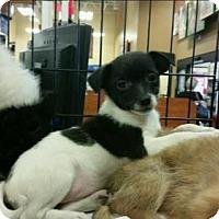Adopt A Pet :: Puppies-Pom mixes - Ringoes, NJ