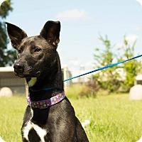Adopt A Pet :: Harper - Pittsburg, KS
