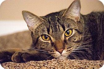 Domestic Shorthair Cat for adoption in Virginia Beach, Virginia - Bruno
