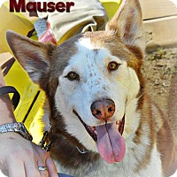Adopt A Pet :: Mauser--Coming soon! - Carrollton, TX