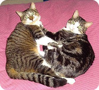 Domestic Shorthair Cat for adoption in Parkton, North Carolina - Limpy