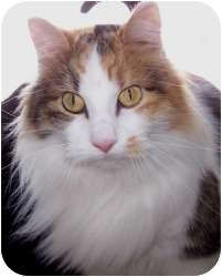 Domestic Mediumhair Cat for adoption in Prescott, Arizona - Miss Katie
