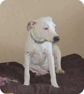 American Pit Bull Terrier/Australian Shepherd Mix Dog for adoption in Copperas Cove, Texas - Pepper