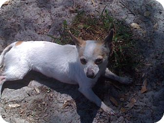 Chihuahua Dog for adoption in Orlando, Florida - Tulip