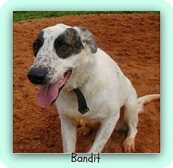 Great Pyrenees/Pointer Mix Dog for adoption in Eddy, Texas - Bandit