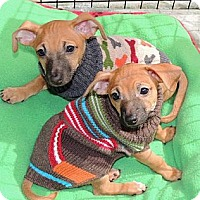 Adopt A Pet :: Gus - La Habra Heights, CA