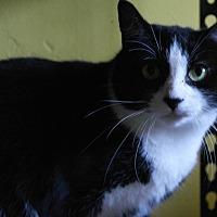 Adopt A Pet :: Violet - Monroe, CT