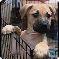 Adopt A Pet :: Kiara - Rockwall, TX