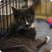 Adopt A Pet :: Mittens - Sacramento, CA
