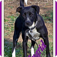 Adopt A Pet :: Ingrid NO ADOPT FEE - Sherman, CT