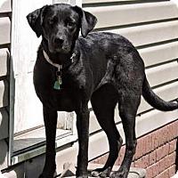 Adopt A Pet :: Lulu-pending adoption - Manchester, CT
