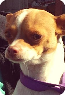 Rat Terrier/Chihuahua Mix Dog for adoption in Surprise, Arizona - Regina