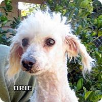 Adopt A Pet :: Brie (Ritzy) - Lindsay, CA
