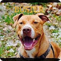 Adopt A Pet :: Buster - Old Saybrook, CT