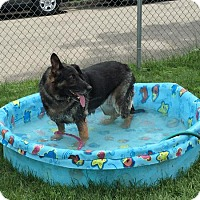 German Shepherd Dog Dog for adoption in Vineland, New Jersey - Abby