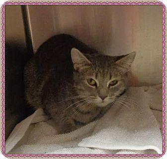 Domestic Shorthair Cat for adoption in Marietta, Georgia - ALYSON