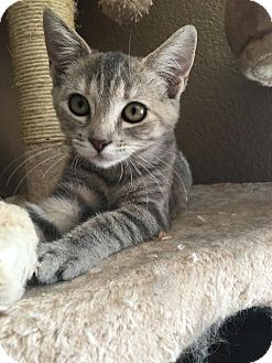 Domestic Shorthair Kitten for adoption in Menifee, California - Julia