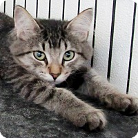 Domestic Mediumhair Kitten for adoption in Grinnell, Iowa - Nell
