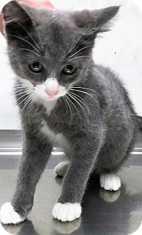 Domestic Shorthair Kitten for adoption in Downers Grove, Illinois - ADOPTED!!!   Paco