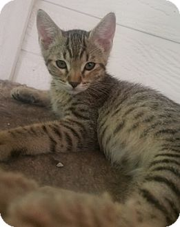 Domestic Shorthair Kitten for adoption in North Highlands, California - Church