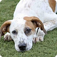 Treeing Walker Coonhound Mix Dog for adoption in Tallahassee, Florida - TRIXIE