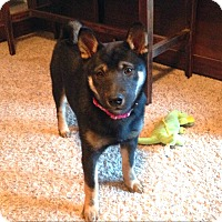 Adopt A Pet :: Anya - Loveland, CO